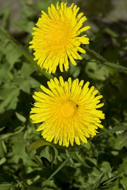 Dandelions can be beneficial to your eco garden