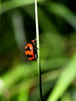 Garden lady bug crawling to the top of a blade of grass
