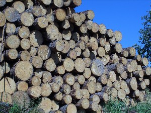A stack of clearcut harvested oak trees and logs by the lumber industry